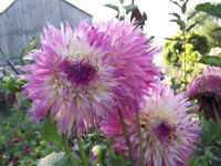 beautiful potted dahlias, ready to bloom in a few weeks!
