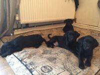 Black Labrador pups