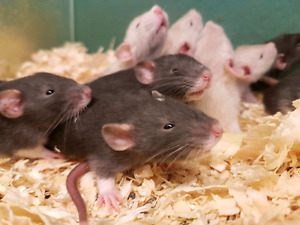 Fancy Rats Sale! $14.99 each or 2 for $25