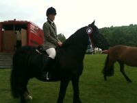 15hh REGISTERED CHAMPION DALES FOR LOAN