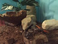 Female Crested gecko and accessories