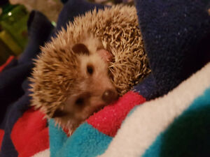 Hedgehog and accessories