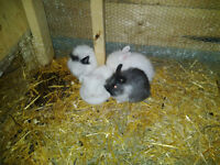 Rabbit and Baby Rabbits for Sale
