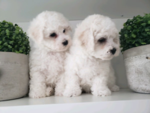 Pure Breed Bichon Frise puppies
