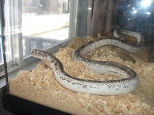Female Licorice Rat Snake