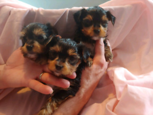 ***CUTE LOVING,AND INTELLIGENT LITTLE YORKIES ***only 2 left***