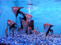 Wild Selection of Angel Fish Flowerhorn Discus Pleco Cichlid