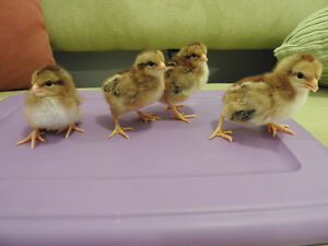 welsummer chicks for sale