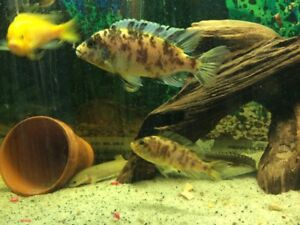 African Cichlids for sale/trade