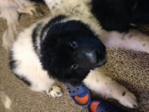 newfoundland landseer puppies