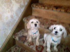 Beautiful Bichon Frise X Poodle puppies