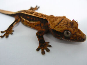 Crested geckos and accessories