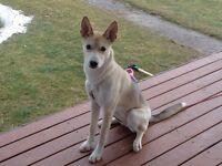 Magnifique husky sibérien femelle de 6 mois