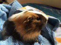Two beautiful guineapigs without cage (14weeks old)