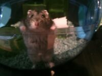 Dwarf hamster for sale