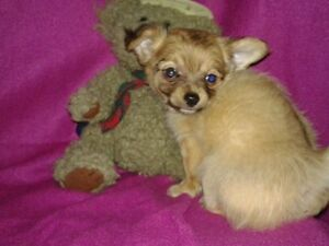 Adorable little chihuahua puppies