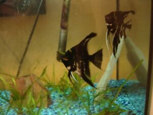 Mated Marble Angelfish with 2 tanks