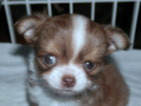Orange and white Chihuahua Puppy Long haired