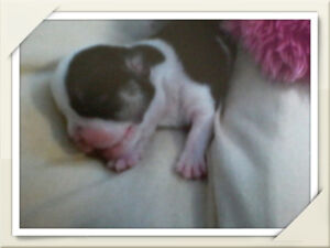 Small Miracles Rescue , saving puppies born with birth defects