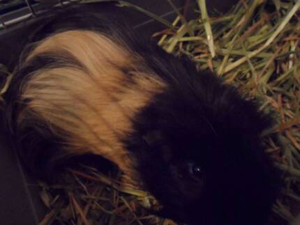 GRRR Shelter Presents Star 18 Months Long Hair Guinea Pig Male Ingle Farm Salisbury Area Preview