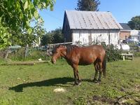 Beautiful six year old mare