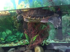 Free turtle with tank purchase Strathcona County Edmonton Area image 3