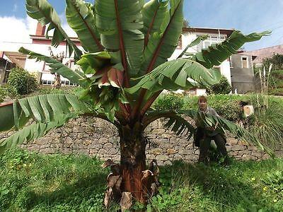 Musa Nagensium essbare Banane Palme Gehölze für den Garten mediterran winterhart