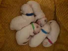 Bichon puppys