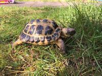 5 yr old horsefield tortoise