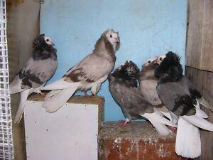 pigeons capucins 2017
