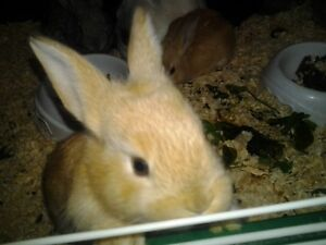 Flemish Giant cross bunnies 5 weeks old many colors