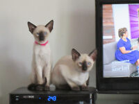 L@@K!! TWO SEAL-POINT PURE SIAMESE KITTENS FOR SALE