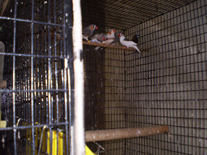 Finches for Sale Sarnia Sarnia Area image 2