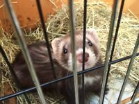 Ferret and cage for sale