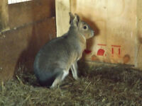 Exotic Patagonian Cavy