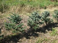 Tree's For Sale Clearance - Col. Blue, White Pine, Norway Spruce