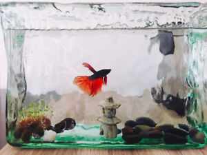 Sell a beautiful beta fish, everything included( moss ball...)