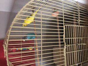 Parakeets for rehoming for 135