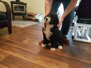 SWEET BERNEDOODLE PUPPIES ARRIVING MARCH 2 nd