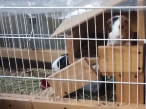 Two Guinea pigs find new homes,contain all things they need.