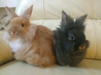 Mini lionhead rabbits 9 weeks old Now Sold