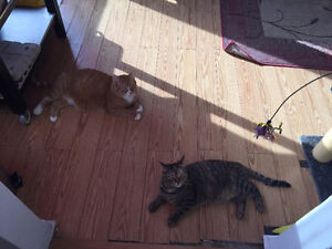 2 Wonderful cats need a new home! West Island Greater Montréal image 4