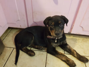 Beautiful Rotti/Brindle Puppy! Asking only $600  289-921-1147