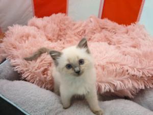 kitten pure bred ragdoll kitten female