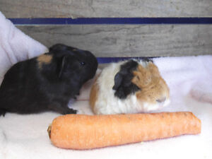 TWO SWEET LITTLE GUINEA PIGS FOR SALE !
