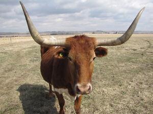 Purebred bred longhorns