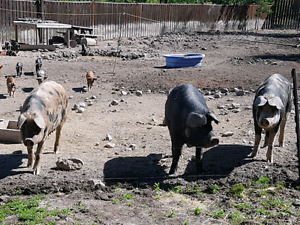 3 young proven sows