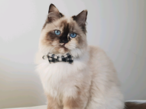 Ragdoll cats female
