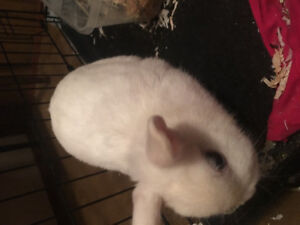 Selling my pure baby dwarf rabbit