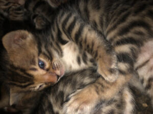 Bengal kittens for sale TICA Registered